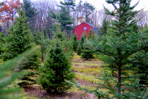 We will bale your Christmas tree free of charge. Yes, if you want you can help pull your tree through our tree baler.